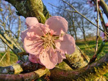 Kwitną wiśnie